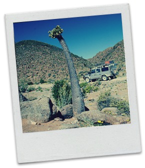 Our Land Rover Defender behind a Pachypodium namaquanum (halfmens = half plant, half human) in the Richtersveld in Namibia