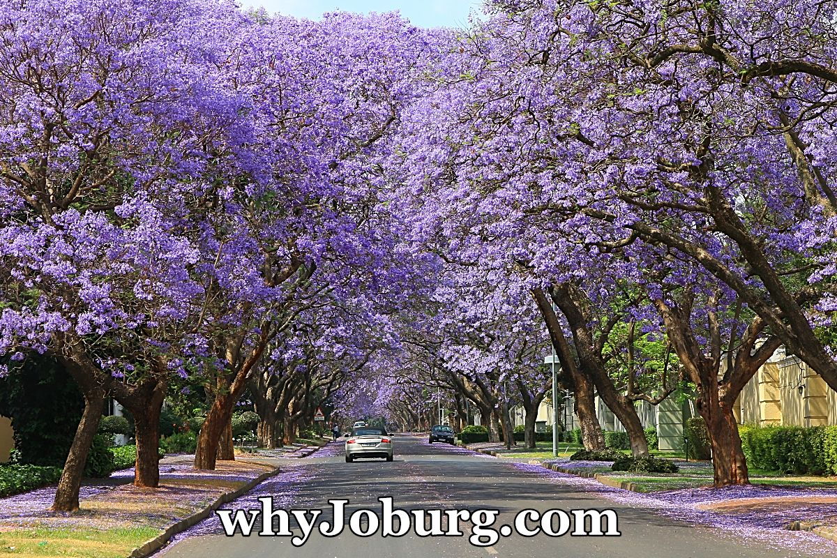 Jacaranda trees, here in full bloom, line the streets in many Johannesburg suburbs