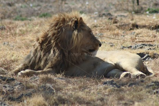 A beautiful, inquisitive  male lion at the Lion and Safari Park near Johannesburg