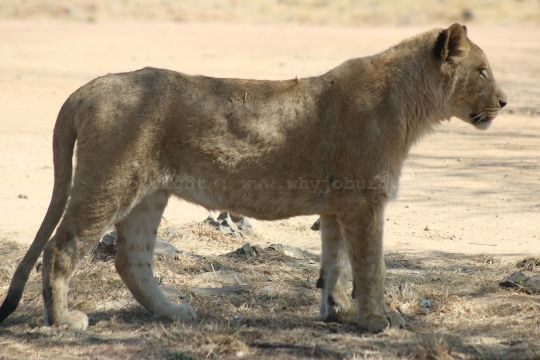 An alert young male lion eyeing its dinner in the adjoining antelope camp, at the Lion and Safari Park near Johannesburg