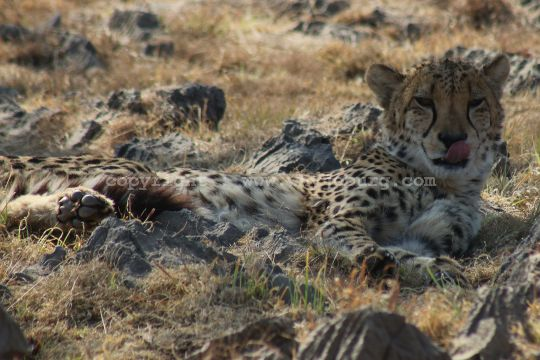 The world's fastest land animal, the cheetah, listed as vulnerable, in the sixth predator enclosure at the Lion and Safari Park near Johannesburg