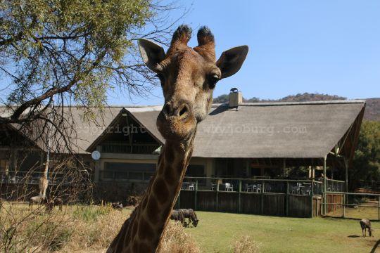 A friendly female giraffe at the Lion and Safari Park near Johannesburg