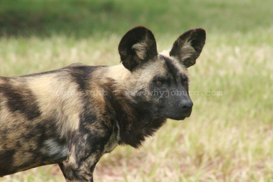 One of a number of rare, and endangered, wild dogs seen in the fifth predator enclosure, at the Lion and Safari Park near Johannesburg