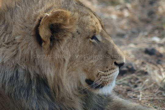 A young male, one of 5 lions we saw, in the first predator camp at the Lion and Safari Park near Johannesburg