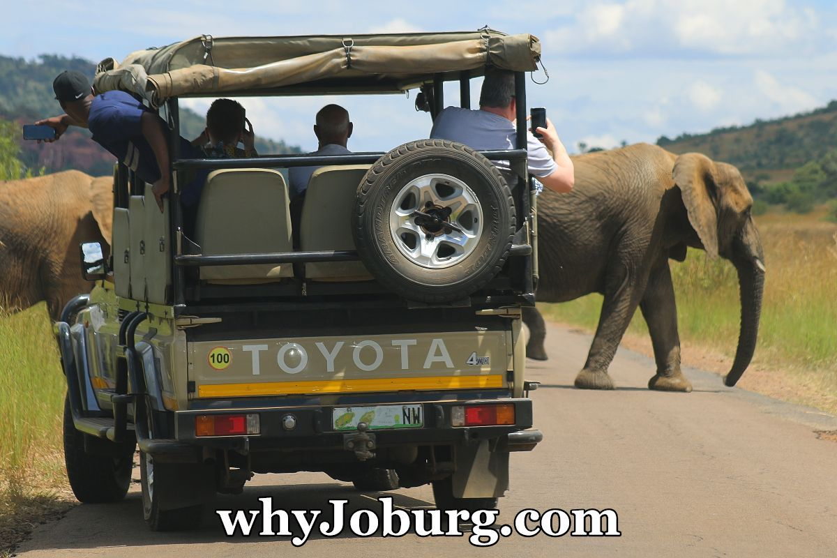 A herd of elephants passes a guided, open safari vehicle at Pilanesberg National Park, a Big 5 Park, just 2 hours from Johannesburg